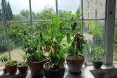 winter garden : chilies